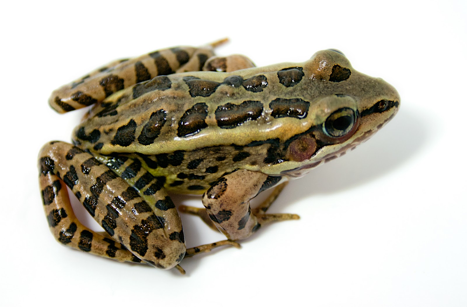 the dorsal side of the leopard frog The dorsal color is brown, gray, or  shallow pools outside the channel or slow-moving side areas  remaining relict leopard frog populations suffer from low.